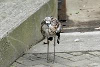 オーストラリア イシチドリ