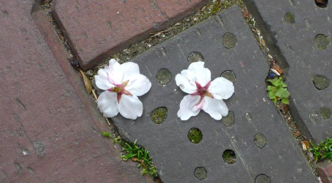 スズメが落とした桜花